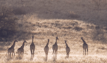 Stand Tall for Giraffes!